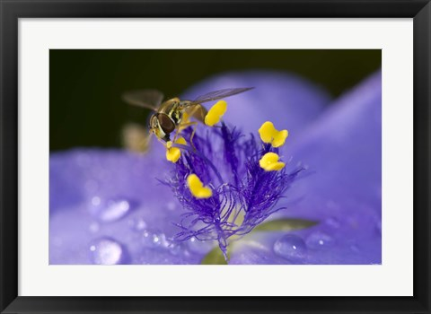 Framed Bee Resting On Purple And Yellow Flower Print