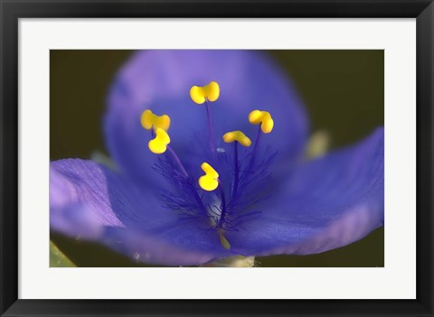 Framed Blue Flower With Yellow Stamen Print