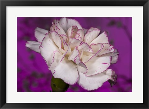 Framed Pink And White Carnation On Purple II Print