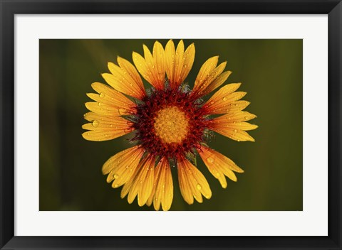 Framed Yellow Flower With Red Center Print