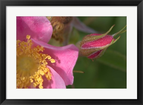 Framed Pink And Yellow Flower And Bud Print