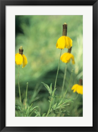 Framed Wild Yellow Flowers  In Grass I Print