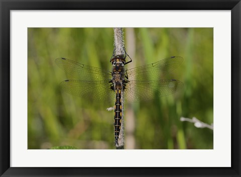 Framed Dragonfly Black And Yellow Print