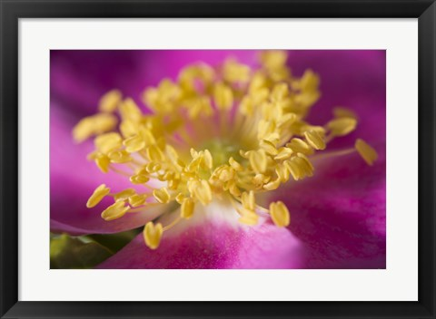 Framed Magenta And Yellow Flower Closeup Print