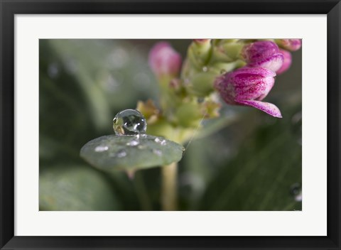 Framed Raindrop And Pink Flower Buds Print