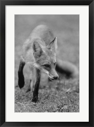 Framed Fox In Field Black And White I Print