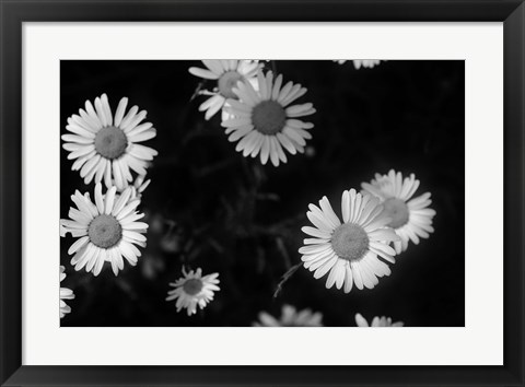 Framed Gerber Daisies On Black Print