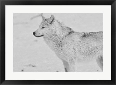 Framed White Wolf 2 Print