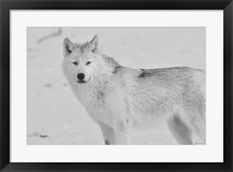 Framed White Wolf 3 Print