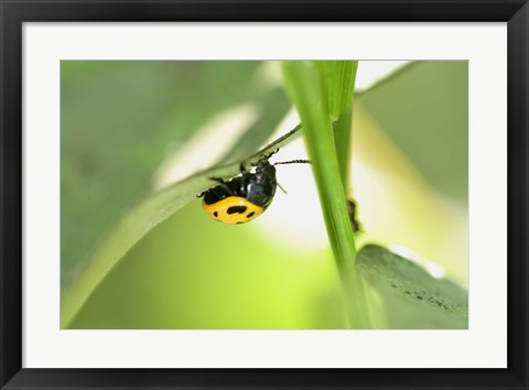 Framed Yellow And Black Ladybug Print
