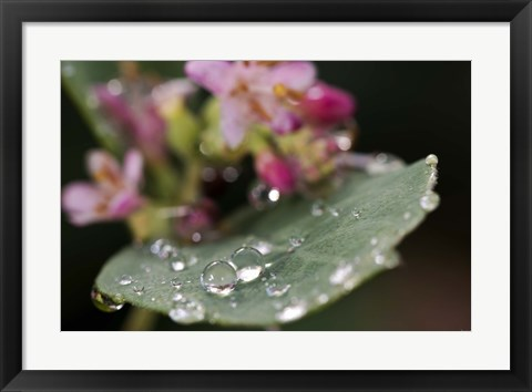 Framed Raindrops On Leaf With Pink Buds Print