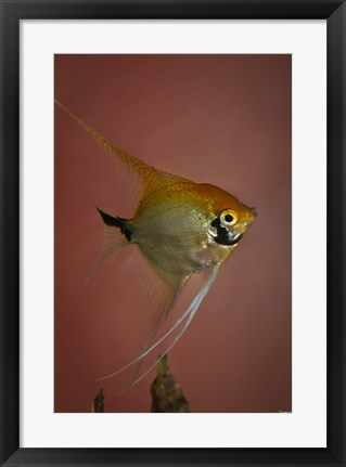 Framed Angel Fish V Print