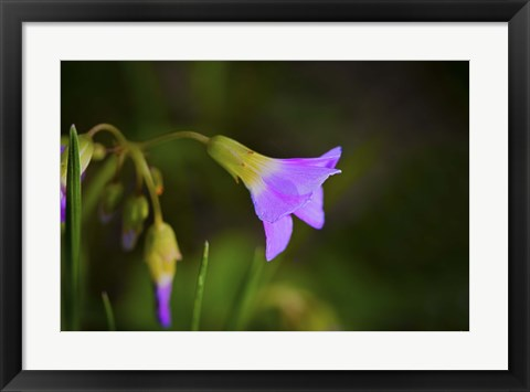 Framed Purple Flower And Buds Print