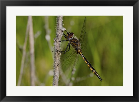 Framed Dragonfly Black And Yellow On Stem Print