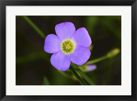 Framed Purple Flower And Green Center Print
