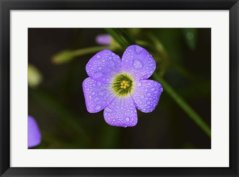 Framed Purple Flower And Green Center And Dew Print
