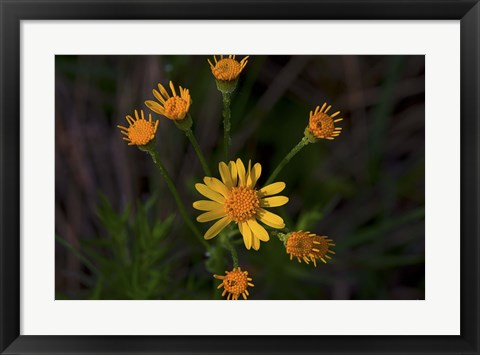 Framed Yellow And Orange Wildflowers Print