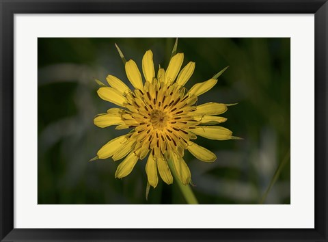 Framed Yellow Flower With Spiked Leaves  Closeup Print