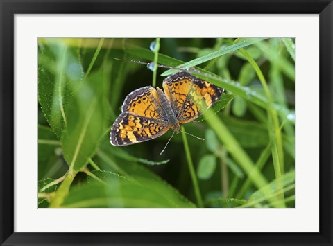 Framed North Shore Orange Butterfly Print