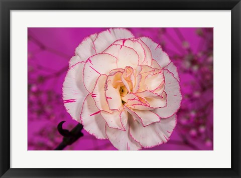 Framed Pink And White Carnation On Magenta I Print