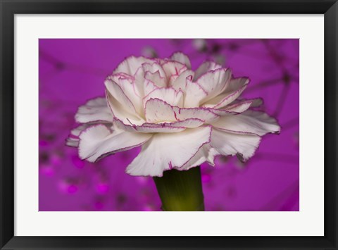 Framed Pink And White Carnation On Purple I Print