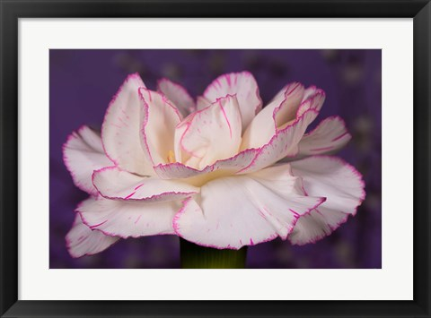 Framed Pink And White Carnation On Purple Closeup Print