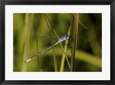 Framed Dragonfly And Blades Of Grass Print