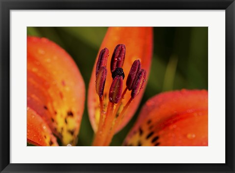 Framed Red And Black Flower Stamen Print