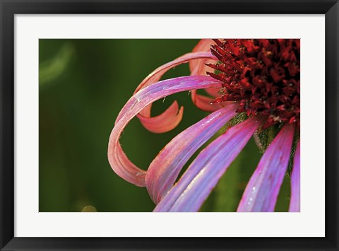 Framed Hot Pink Flower Petals Print