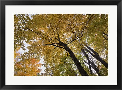 Framed Yellow Fall Trees From Below II Print