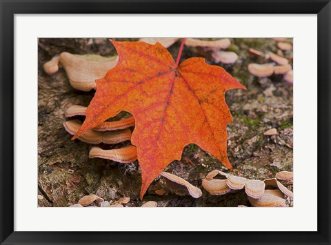 Framed Fallen Red Leaf Print