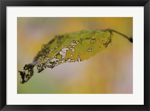 Framed Green And Yellow Leaf Closeup Print