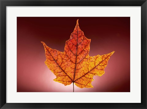 Framed Red Fall Leaf On Red Background Print
