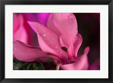 Framed Pink Cyclamen Flower Blooming Print
