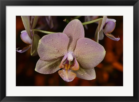 Framed Pink And Yellow Spotted Flower With Dew II Print