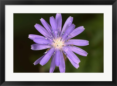 Framed Purple Flower Petals And Dew Closeup I Print