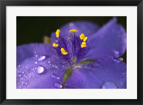 Framed Purple And Yellow Flower After Rain II Print