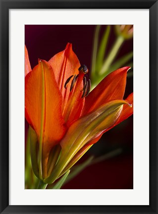 Framed Red And Black Lily Print