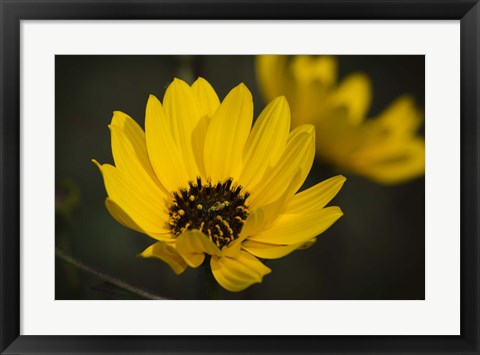 Framed Yellow And Black Flower Bloom Print