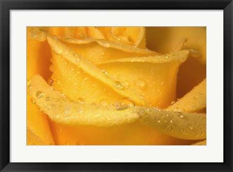 Framed Yellow Rose And Dew Closeup Print