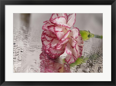 Framed Pink And White Carnation Reflected Print
