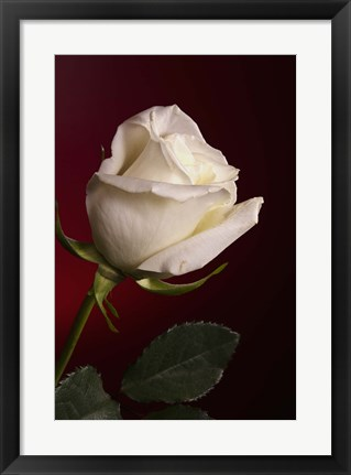 Framed White Rose On Red Print