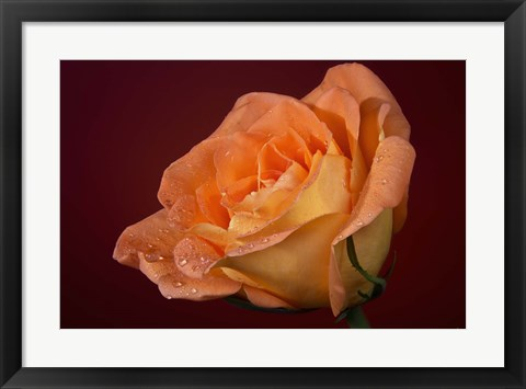 Framed Orang Rose On Red Glow Closeup Print