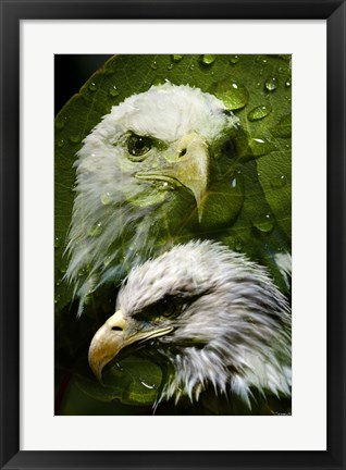 Framed American Bald Eagle III Print