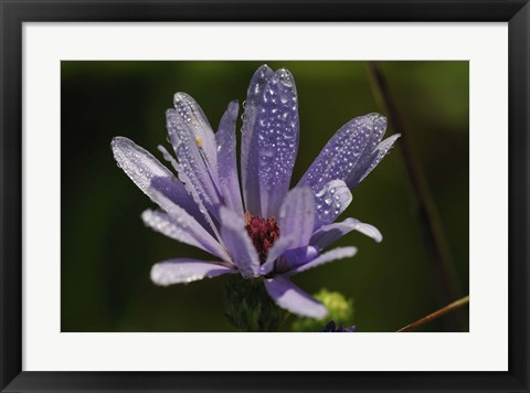 Framed Purple Flower With Magenta Center Print