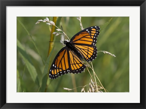 Framed Orange And Black Butterfly In Greenery Print