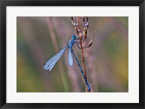 Framed Blue Dragonfly On Stem Print