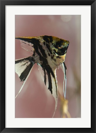 Framed Angel Fish IX Print