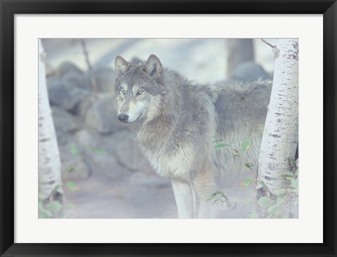 Framed Wolf In The Mist Print