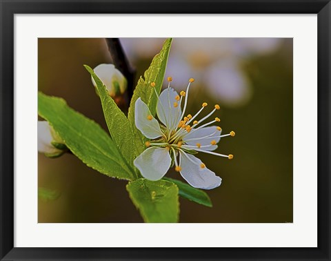 Framed White Flower Bloom And Buds Print